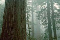 Lady Bird Johnson Grove, Redwood National Park, California, USA    Stock Photo - Premium Royalty-Freenull, Code: 600-00173431