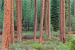 Ponderosa Pines, Shasta National Forest, California, USA