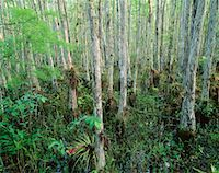 peter griffith - Cypress Trees and Bromeliads, Corkscrew Swamp Sanctuary, Florida Everglades, USA    Stock Photo - Premium Royalty-Freenull, Code: 600-00174200