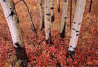 Aspen Trunks, Peace River Valley, Near Ft. St. John, British Columbia, Canada    Stock Photo - Premium Royalty-Freenull, Code: 600-00176297