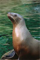 Stellar's Sea Lion    Stock Photo - Premium Rights-Managednull, Code: 700-00177959
