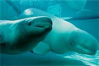 Beluga Whales    Stock Photo - Premium Rights-Managednull, Code: 700-00177962