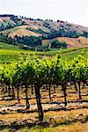 Overview of Vineyard    Stock Photo - Premium Rights-Managed, Artist: Ed Gifford, Code: 700-00178408