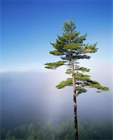 peter griffith - Pine Tree Algonquin Provincial Park Ontario, Canada    Stock Photo - Premium Rights-Managednull, Code: 700-00182055