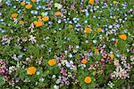 Wild Flowers in Garden Shamper's Bluff New Brunswick, Canada    Stock Photo - Premium Rights-Managed, Artist: Freeman Patterson, Code: 700-00182669