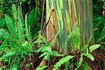 Eucalyptus Trees and Ferns Maui, Hawaii, USA