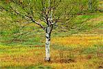 Lone Birch Tree    Stock Photo - Premium Rights-Managed, Artist: Freeman Patterson, Code: 700-00182847
