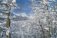 Snow Covered Trees by Mountains Alberta, Canada    Stock Photo - Premium Rights-Managednull, Code: 700-00183323