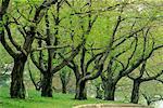 Grove of Trees in Springtime High Park Toronto, Ontario, Canada
