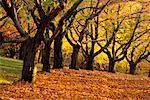 Grove of Trees in Autumn High Park Toronto, Ontario, Canada    Stock Photo - Premium Rights-Managed, Artist: J. A. Kraulis, Code: 700-00184134