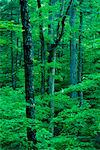 Forest Interior Great Smoky Mountains National Park Tennessee, USA    Stock Photo - Premium Rights-Managed, Artist: J. A. Kraulis, Code: 700-00184279