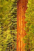 Giant Sequoias Yosemite National Park California, USA    Stock Photo - Premium Rights-Managednull, Code: 700-00184288