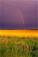 Canola Field    Stock Photo - Premium Rights-Managednull, Code: 700-00185292