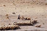 Shepherd with Flock of Sheep Israel    Stock Photo - Premium Rights-Managed, Artist: Larry Fisher, Code: 700-00186736
