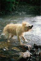Dog Drying Off Ashburton, Devon England    Stock Photo - Premium Rights-Managednull, Code: 700-00188567
