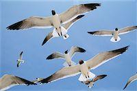 Gulls    Stock Photo - Premium Rights-Managednull, Code: 700-00188592