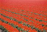 The Netherlands, Red tulip field Stock Photo - Premium Royalty-Freenull, Code: 610-00256754