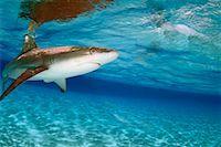 Shark Underwater    Stock Photo - Premium Rights-Managednull, Code: 700-00286301