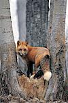 Red fox (Vulpes vulpes) between trees, Montana, USA Stock Photo - Premium Royalty-Freenull, Code: 613-00304231