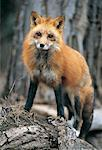 Red Fox (Vulpes vulpes), Montana, USA Stock Photo - Premium Royalty-Freenull, Code: 613-00304237