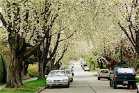 Cherry Blossoms Lining Street    Stock Photo - Premium Rights-Managednull, Code: 700-00343199