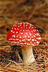 Amanita Muscaria    Stock Photo - Premium Rights-Managed, Artist: J. David Andrews, Code: 700-00345127