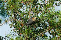 Yellow-Fronted Woodpecker    Stock Photo - Premium Rights-Managednull, Code: 700-00350957