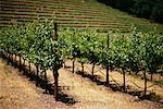 Vineyard Napa Valley, California    Stock Photo - Premium Rights-Managed, Artist: David Papazian, Code: 700-00361303