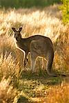 Kangaroo in Field Wilsons Promontory National Park, Victoria, Australia
