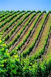 Vineyard Napa Valley, California, USA    Stock Photo - Premium Rights-Managed, Artist: Roy Ooms, Code: 700-00404101