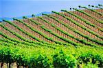 Vineyard Napa Valley, California, USA    Stock Photo - Premium Rights-Managed, Artist: Roy Ooms, Code: 700-00404102