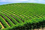 Vineyard Napa Valley, California, USA    Stock Photo - Premium Rights-Managed, Artist: Roy Ooms, Code: 700-00404103