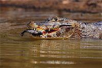 piranha fish - Cayman Eating a Piranha, Pantanal, Brazil    Stock Photo - Premium Rights-Managednull, Code: 700-00424369