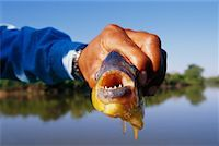 piranha fish - Tour Guide Showing a Piranah, Pantanal, Brazil    Stock Photo - Premium Rights-Managednull, Code: 700-00424411