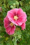 Close-up of Hollyhock    Stock Photo - Premium Rights-Managed, Artist: Nora Good, Code: 700-00424639