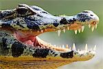 Cayman, Mato Grosso, Pantanal, Brazil    Stock Photo - Premium Rights-Managed, Artist: Jeremy Woodhouse, Code: 700-00426027