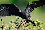 Snail Kite with Crab    Stock Photo - Premium Rights-Managed, Artist: Jeremy Woodhouse, Code: 700-00426043