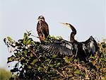 Anhinga and Snail Kite    Stock Photo - Premium Rights-Managed, Artist: Jeremy Woodhouse, Code: 700-00426046