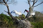 Jabiru Storks at Nest    Stock Photo - Premium Rights-Managed, Artist: Jeremy Woodhouse, Code: 700-00426052