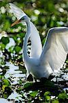 Great Egret    Stock Photo - Premium Rights-Managed, Artist: Jeremy Woodhouse, Code: 700-00426059
