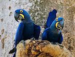 Hyacinth Macaws    Stock Photo - Premium Rights-Managed, Artist: Jeremy Woodhouse, Code: 700-00426071