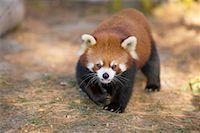 Red Panda    Stock Photo - Premium Rights-Managednull, Code: 700-00430116
