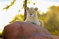 Lion    Stock Photo - Premium Rights-Managednull, Code: 700-00430120