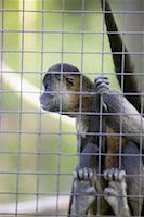 Spider Monkey    Stock Photo - Premium Rights-Managednull, Code: 700-00430121
