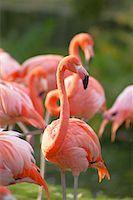 Flamingoes    Stock Photo - Premium Rights-Managednull, Code: 700-00430122