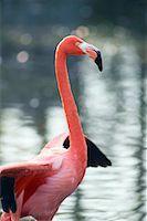Flamingo    Stock Photo - Premium Rights-Managednull, Code: 700-00430124