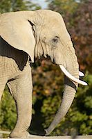 Elephant    Stock Photo - Premium Rights-Managednull, Code: 700-00430125