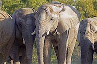 Elephants    Stock Photo - Premium Rights-Managednull, Code: 700-00430126