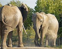 Elephants    Stock Photo - Premium Rights-Managednull, Code: 700-00430127