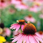 Bee on Coneflower    Stock Photo - Premium Rights-Managed, Artist: Jennifer Burrell, Code: 700-00430243